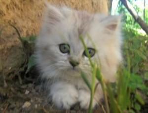 Animali domestici: il Persiano, un gatto da appartamento tranquillo, affettuoso e ordinato ...